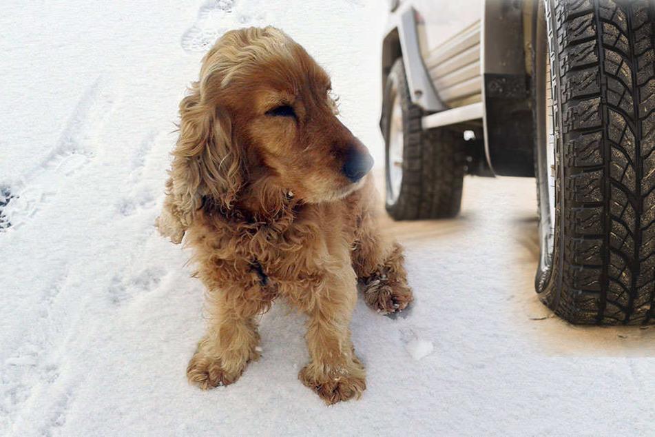 Der Hund wurde von einem Auto erfasst. (Symbolbild)