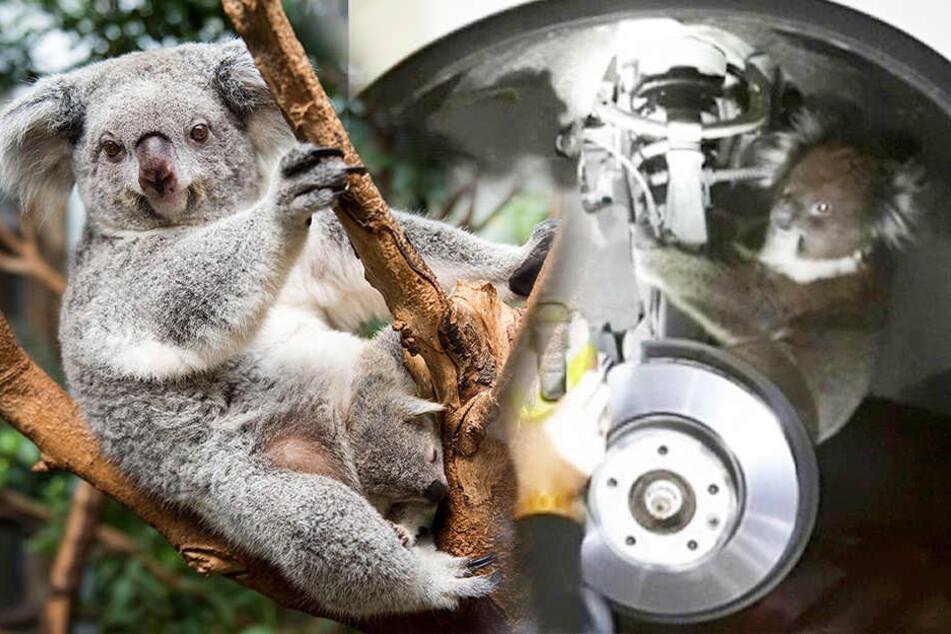 Er klammerte sich ans Rad: Koala überlebt wilde Autofahrt