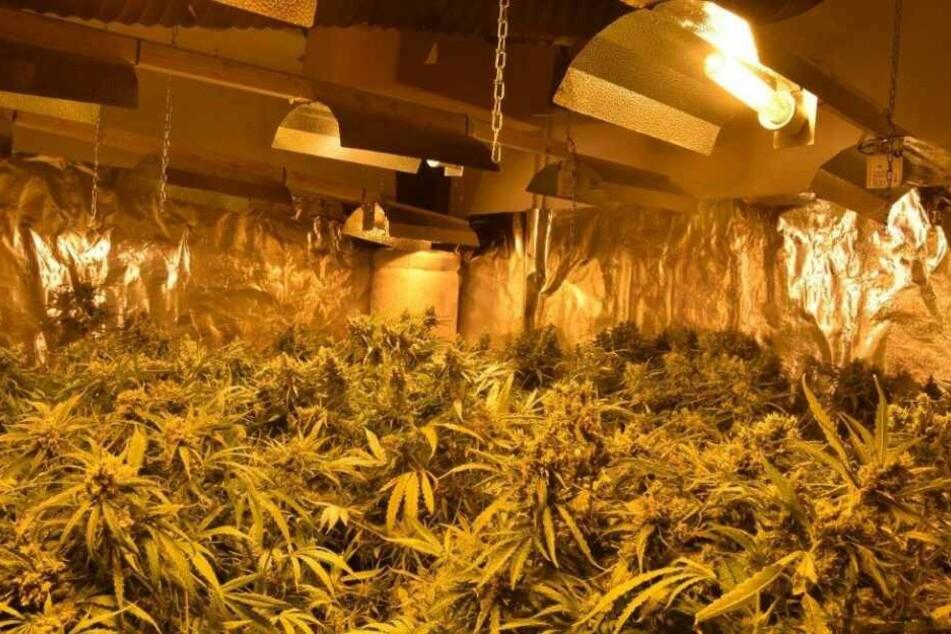 In einem Haus hatten die Verdächtigen rund 1100 Pflanzen illegal angebaut.