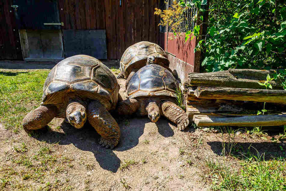 Aus glücklichen Zeiten im Mai 2018: Die Hugo-Schildkröten bezogen ihr Sommerquartier im Dresdner Zoo.
