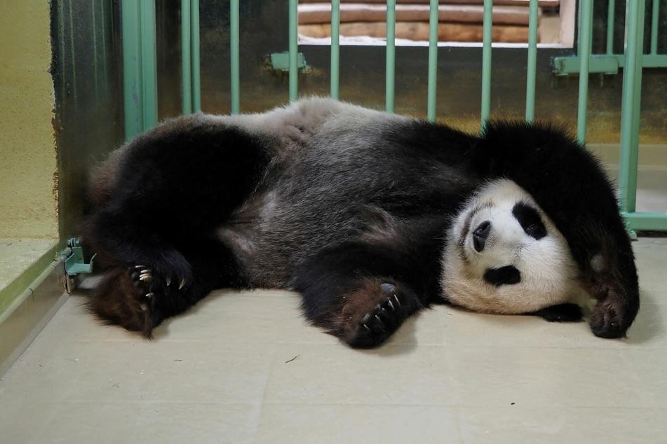 Hier war Huan Huan noch schwanger. Heute ist das Panda-Weibchen stolze dreifach-Mama.