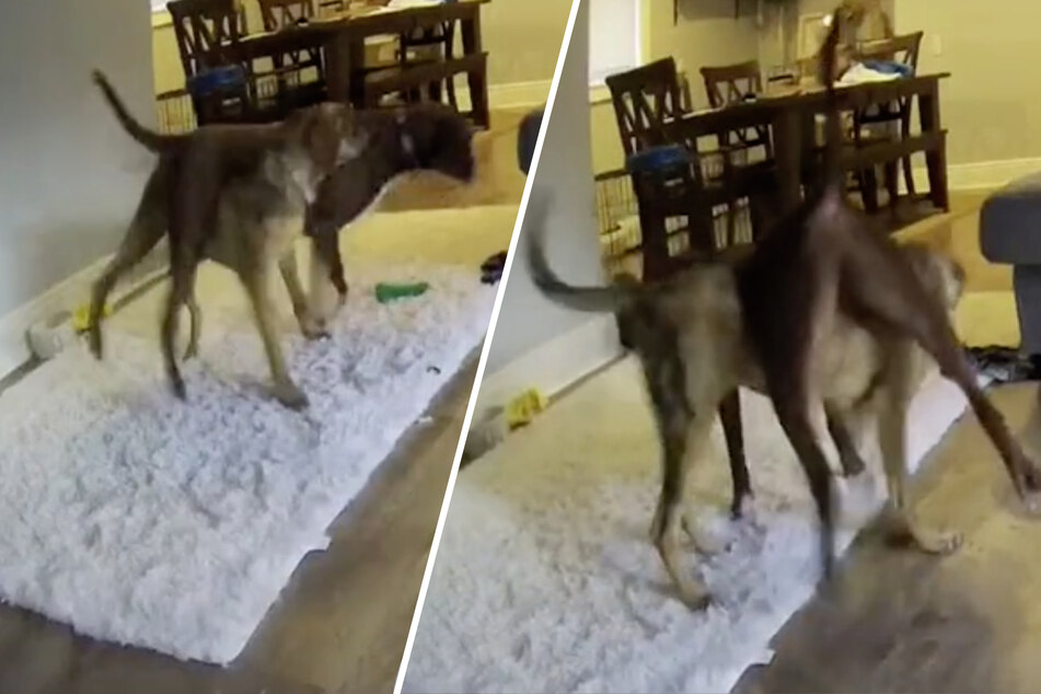 Hundekamera filmt zwei Vierbeiner beim Huckepack spielen