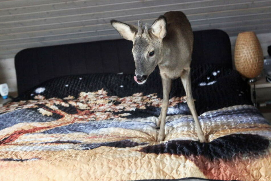 """Aus dem halb verhungerten Rehkitz """"Bambi"""" ist mittlerweile ein stattlicher Rehbock geworden."""
