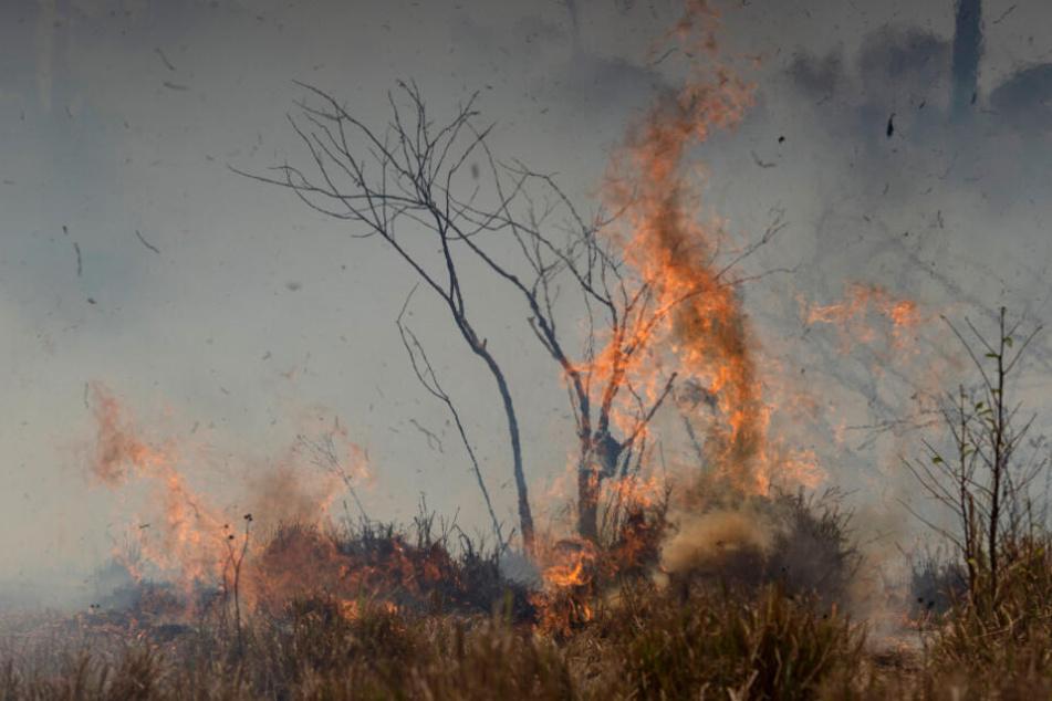 Das Feuer frisst sich durch den vertrockneten Wald.