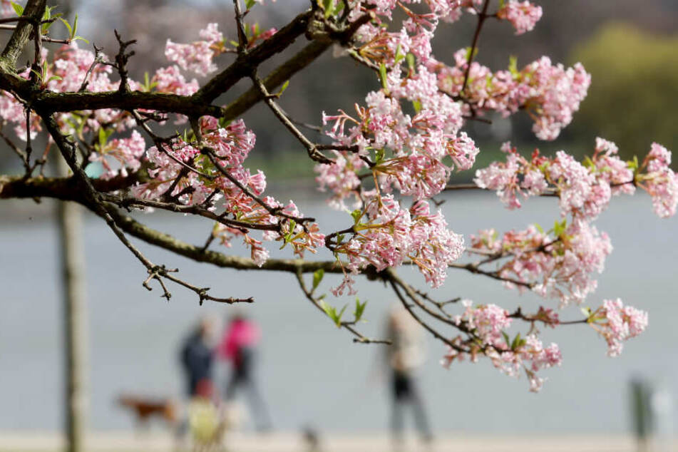 Die ersten Blüten haben sich in NRW bereits geöffnet.