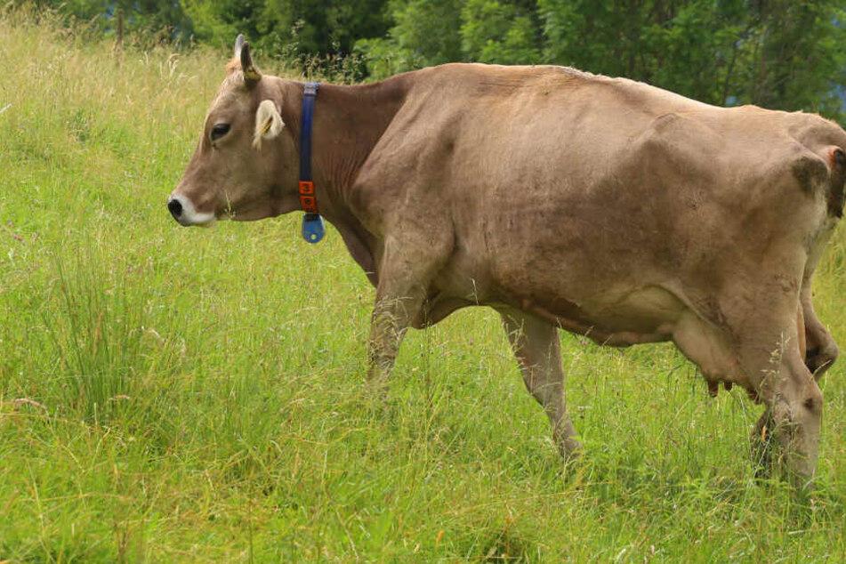 Tierquäler schlitzen trächtige Kuh auf und lassen sie zum Sterben zurück
