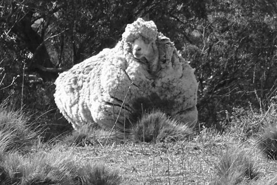 Schaf Chris wurde nur zehn Jahre alt. Oder zwölf. Da sind sich die Tierpfleger nicht so sicher.
