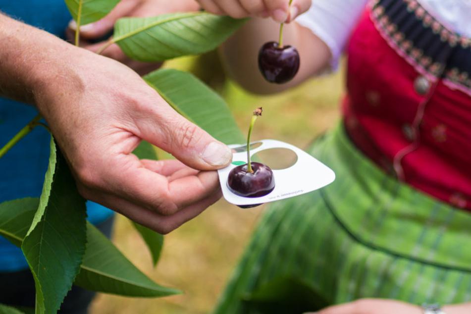 Obstbauern in Bayern müssen erhebliche Umsatzeinbußen verkraften. (Symbolbild)