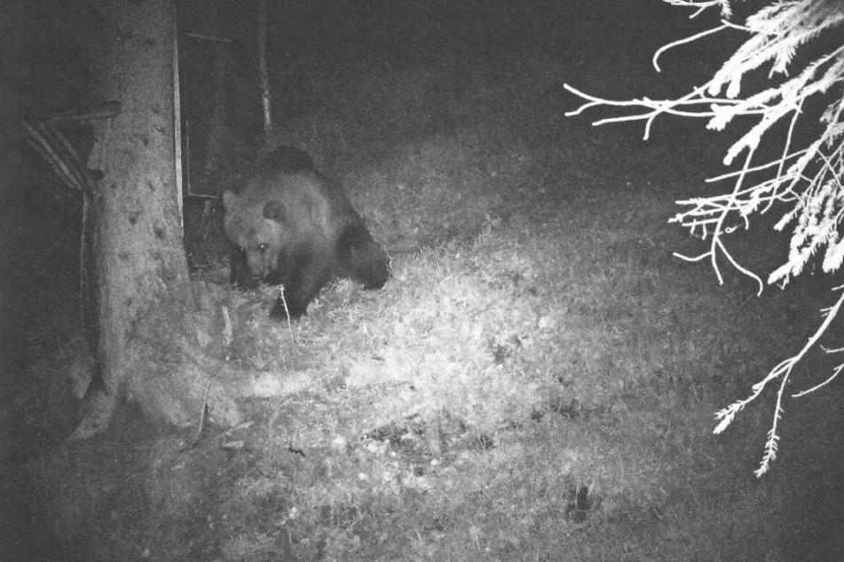 Eine Wildkamera hat im Bereich des Klausenwaldes bei Reutte im Tiroler Außerfern einen Bären aufgenommen.