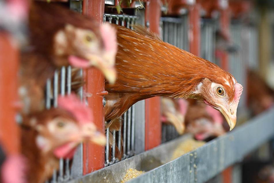 Ein Huhn wurde tot im Stall zurückgelassen, zwei weitere entwendet. (Symbolbild)