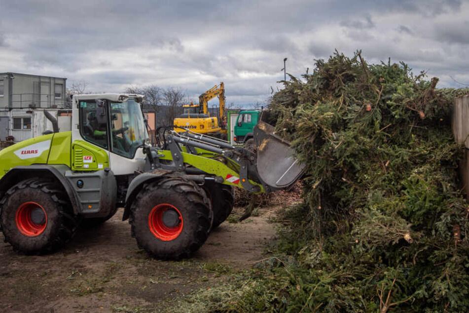Der Abfallentsorgungs- und Stadtreinigungsbetrieb (ASR) sammelt die Bäume der Chemnitzer ein und bringt sie zur Kompostierungsanlage.
