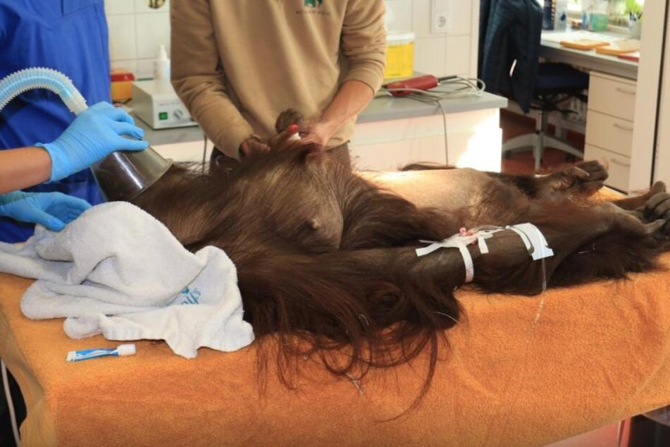 "Orang-Utan ""Cori"" musste im Kölner Zoo operiert werden."