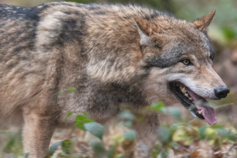 Wolf Siegfried stirbt äußerst rätselhaften Tod: Wildpark findet keine Erklärung