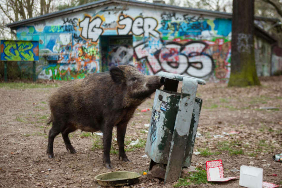 Ein weibliches Wildschwein (Bache) sucht in einem Mülleimer in einem Waldgebiet im Berliner Bezirk Tegel nach Futter.