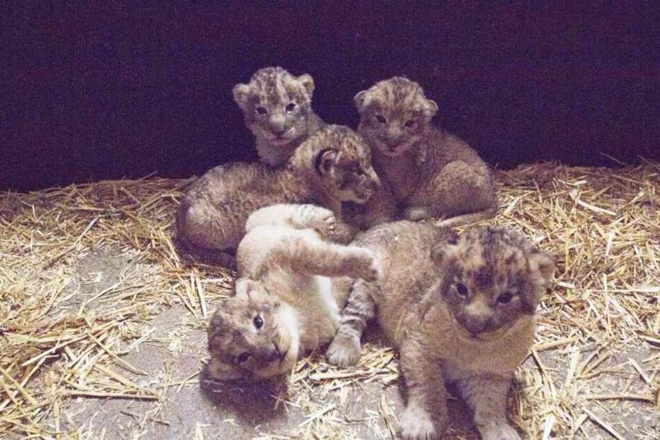 Zwei Kater und drei Katzen wurden am 26. und 27. Dezember geboren. Das ist das erste Foto aus der Mutterstube.