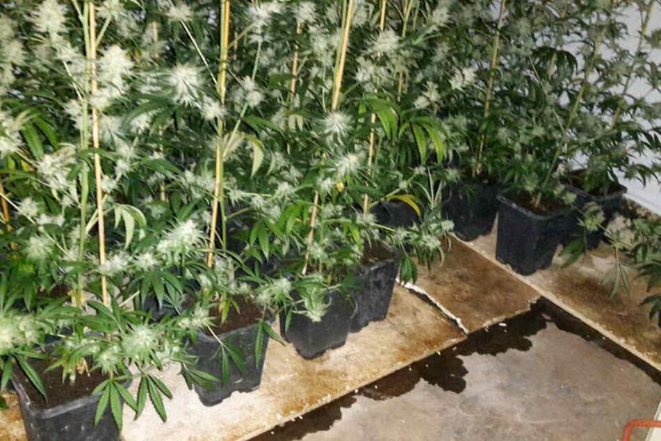 Ganze 250 Cannabis-Pflanzen haben Polizeibeamte in einer Grevenbroicher Wohnung sichergestellt.