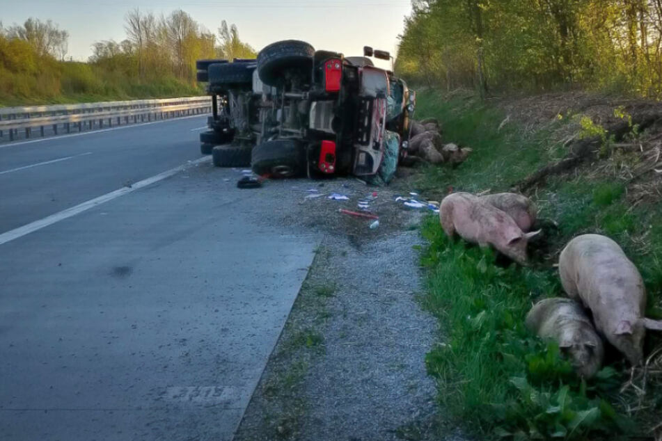 Transporter kippt um: 30 Schweine tot, Autobahn gesperrt
