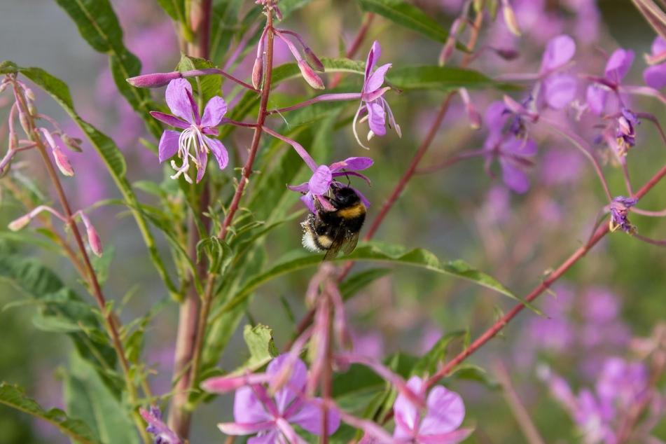 Bienenfreundliche Pflanzen sind reich an Blüten und verschönern jede Terrasse oder Balkon.