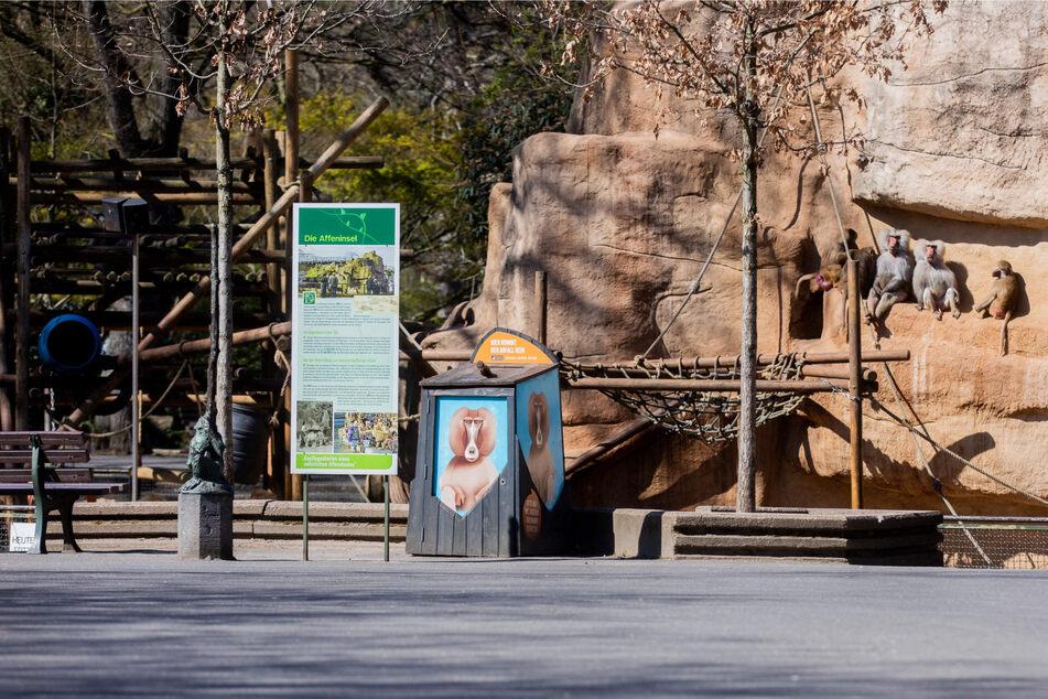 Paviane in ihrem Gehege im Kölner Zoo. Wegen der hohen Corona-Zahlen müssen Besucher des Zoos ab Montag am Eingang einen negativen Schnelltest vorlegen.