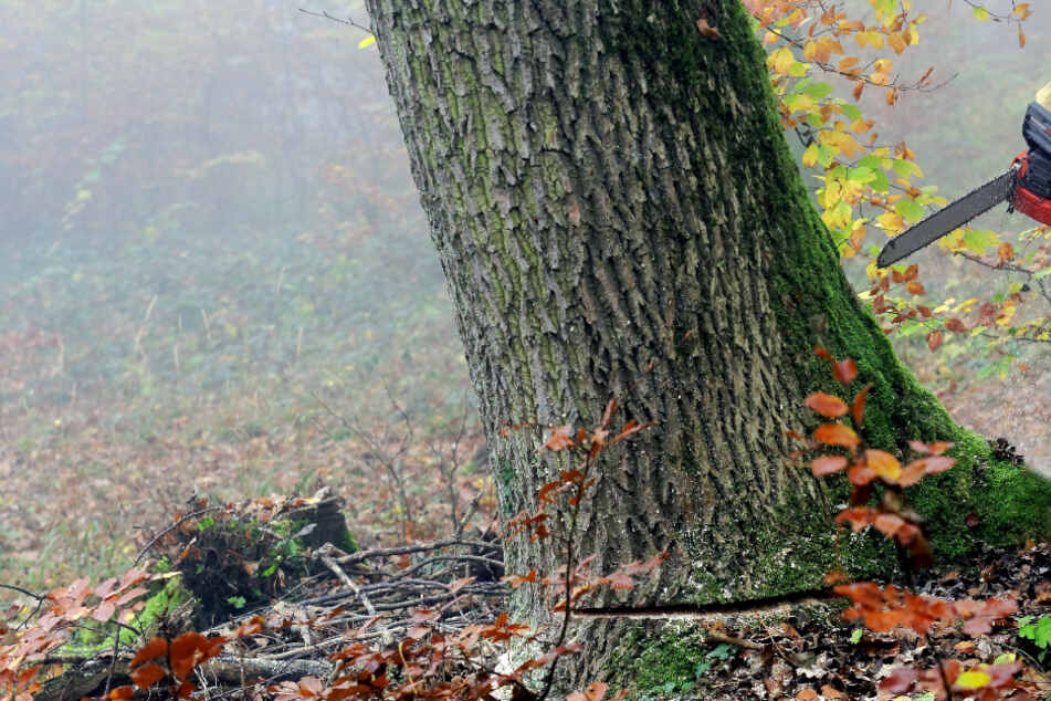 Der Mann wurde von einem Baum erschlagen. (Symbolbild)