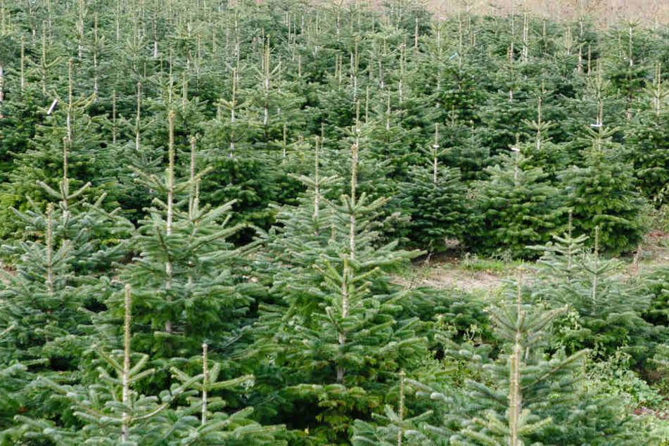 Dreiste Diebe klauen 80 Weihnachtsbäume!