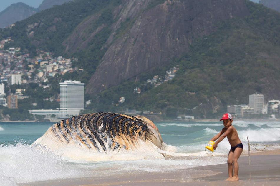 Ein 30 Tonnen schwerer Wal wurde in Brasilien angeschwemmt. Ein kleiner Junge spielt vor dem riesigen Tier.