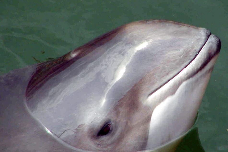 Ein Schweinswal guckt aus dem Wasser.