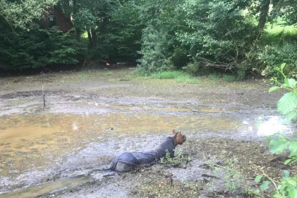 Die Flucht des Pferdes von einer Weide endete in diesem Tümpel, bevor die Feuerwehr es dann befreien konnte.