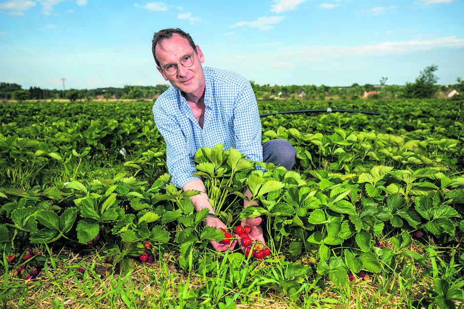 Klaus Olbricht (52) begutachtet im Erdbeerfeld den Reifegrad der Früchte.