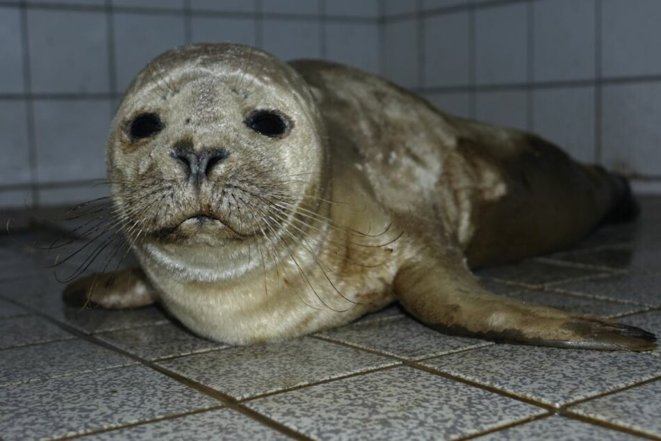 Völlig entkräftet: Junger Seehund aus Hafenbecken gerettet
