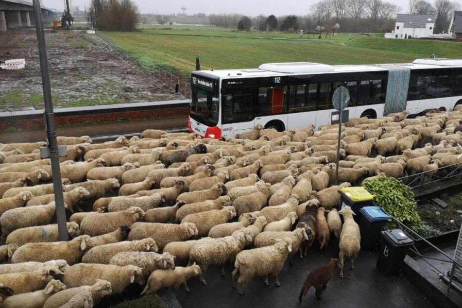 Die Schafherde umzingelte den Bus regelrecht.