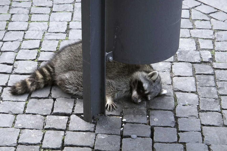 Der geschwächte Waschbär hatte sich unter einen Abfalleimer gelegt, um sich auszuruhen.