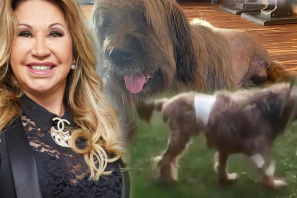 Die Geissens: Nach Amputation: Hund der Geissens lebt auf 3 Beinen!