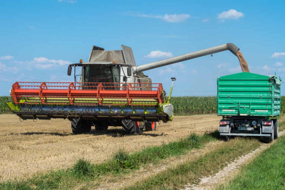 Ein Mähdrescher verlädt seine Weizenernte in einen Anhänger. Die Bauern sorgen sich wegen der Dürre um die Ernte.