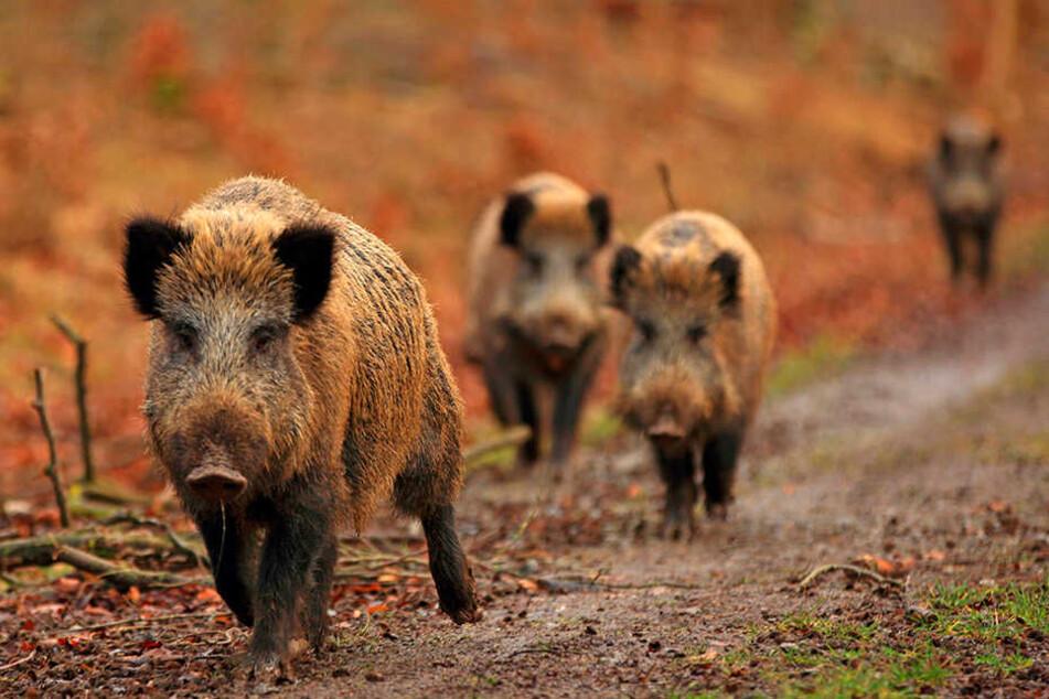 Wildschweine sind schlau und darum sehr anpassungsfähig.