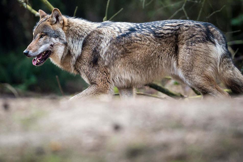 Der Wolf hat Potsdam erreicht!