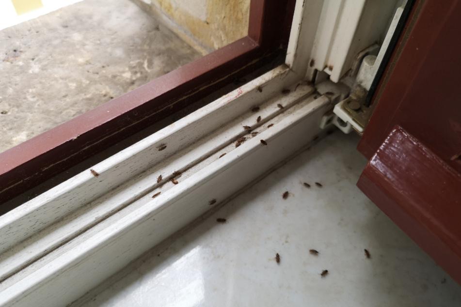Platanenwanzen-Befall in einer Wohnung an der Fetscherstraße.