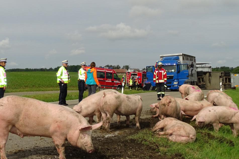 Tiertransporter mit knapp 180 Schweinen umgekippt