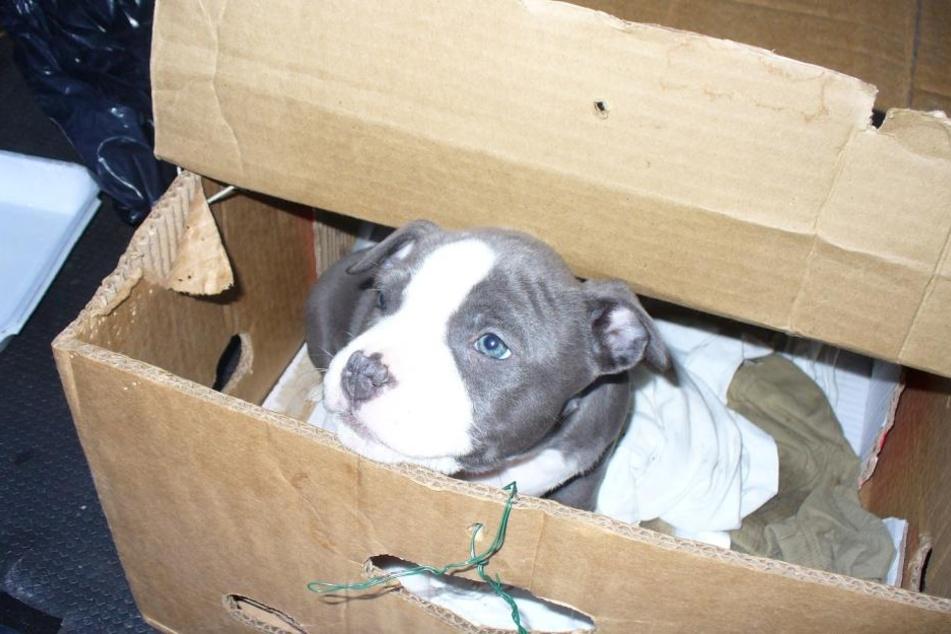 Ziemlich süß, leider aber illegal: Bei einer Kontrolle finden Beamte einen sieben Wochen alten Staffordshire Terrier.