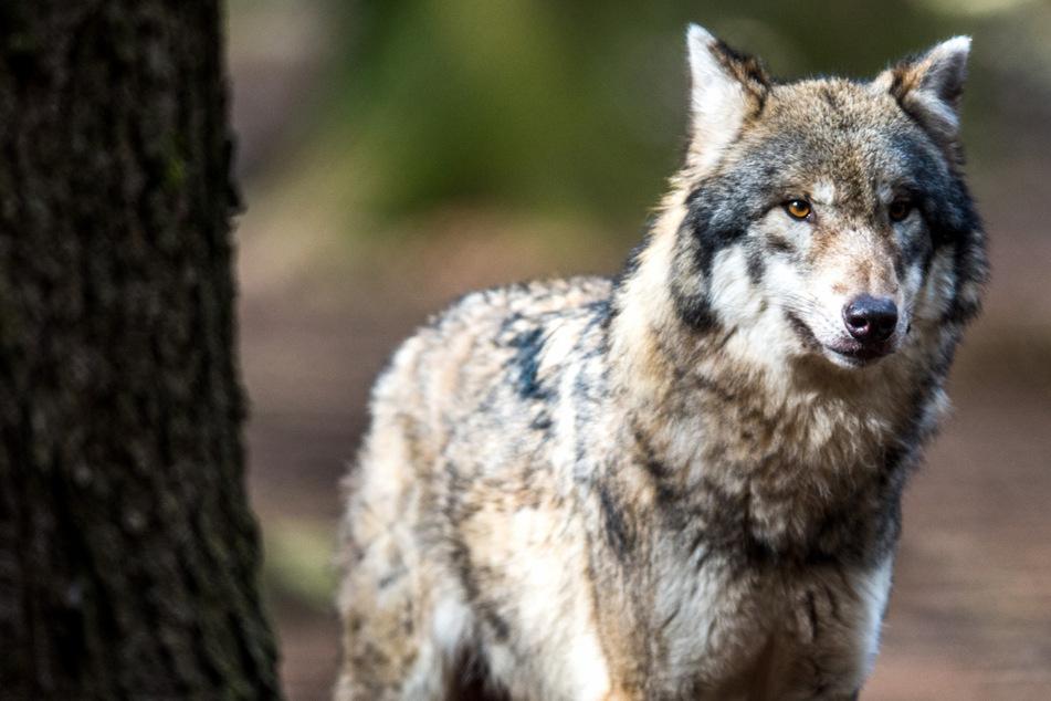 Wölfe: Aufregung in Sachsen-Anhalts Städten! Mehrere Wölfe gesichtet