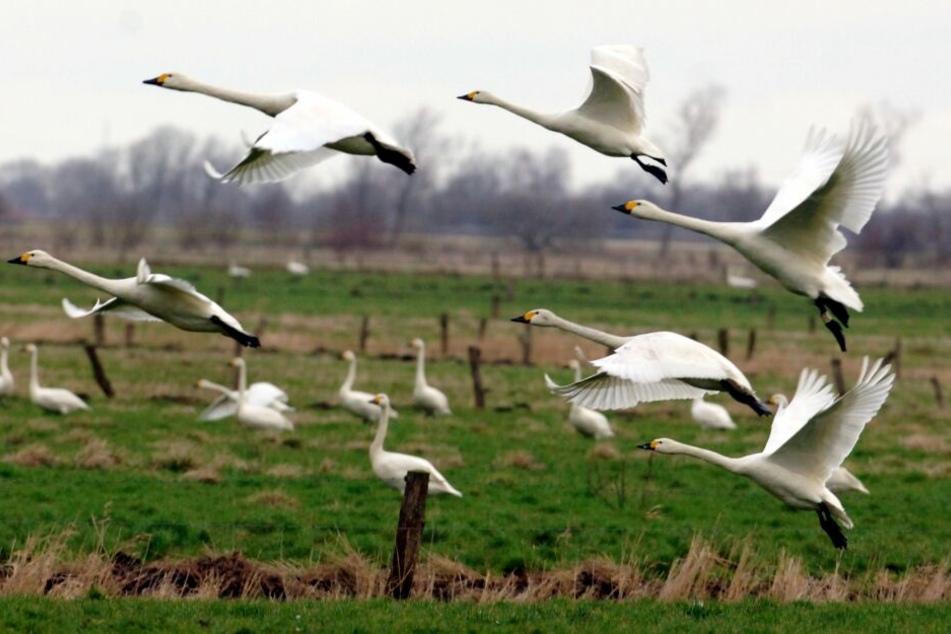 Tausende nordische Zwergschwäne sind derzeit zu Besuch in Schleswig-Holstein.