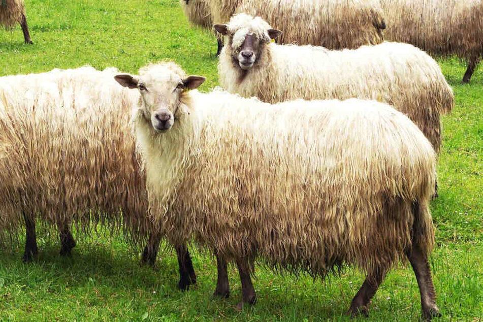 Für Wölfe ein Leckerbissen: Das Archivbild zeigt Schafe auf einer Weide.