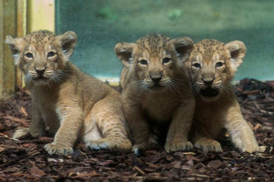 Einfach putzig. Die drei neuen Stars im Frankfurter Zoo.