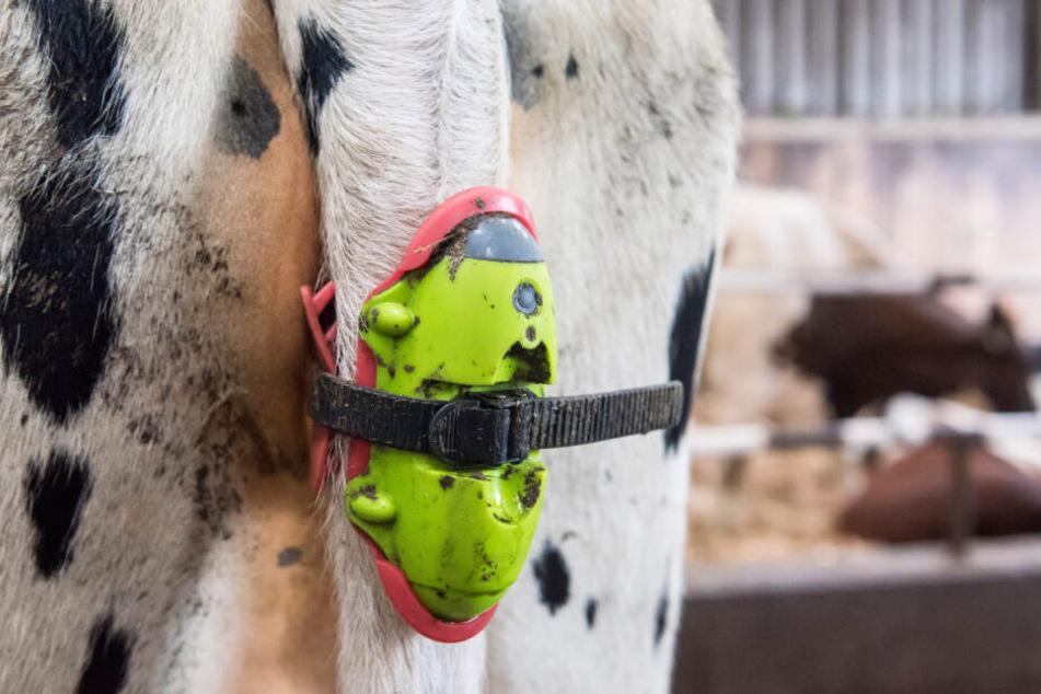 """Der sogenannten """"Moocall""""-Sensor am Schwanz einer trächtigen Kuh, löst vor der Geburt einen Alarm per SMS aus."""