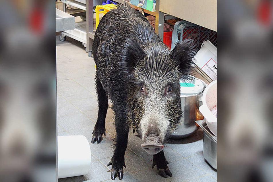 Ganz nass stand das Wildschwein in der Gastronomie der Therme.