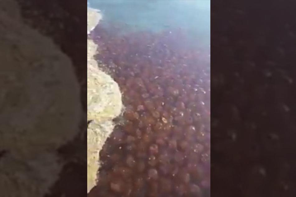 An einigen Küstenabschnitten breiteten sich die Quallen wie ein Teppich aus.
