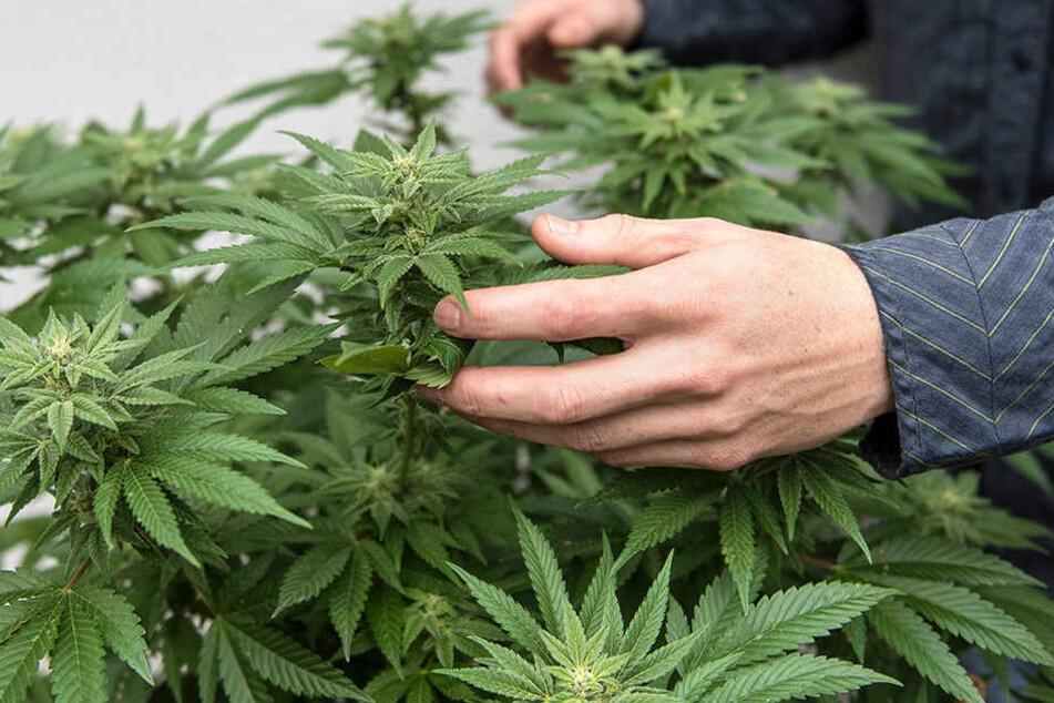Bauer Marcus Schilka pflanz momentan noch das legale Hanf an, hofft aber auf Marihuana umsteigen zu können.