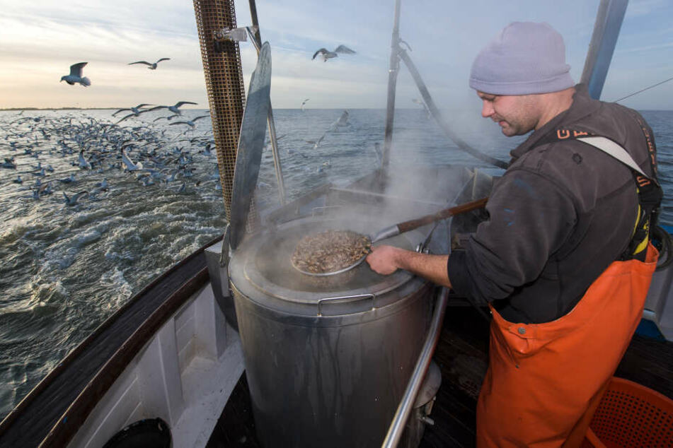 Ein Fischer kocht die frisch gefangenen Krabben an Bord des Krabbenkutters.