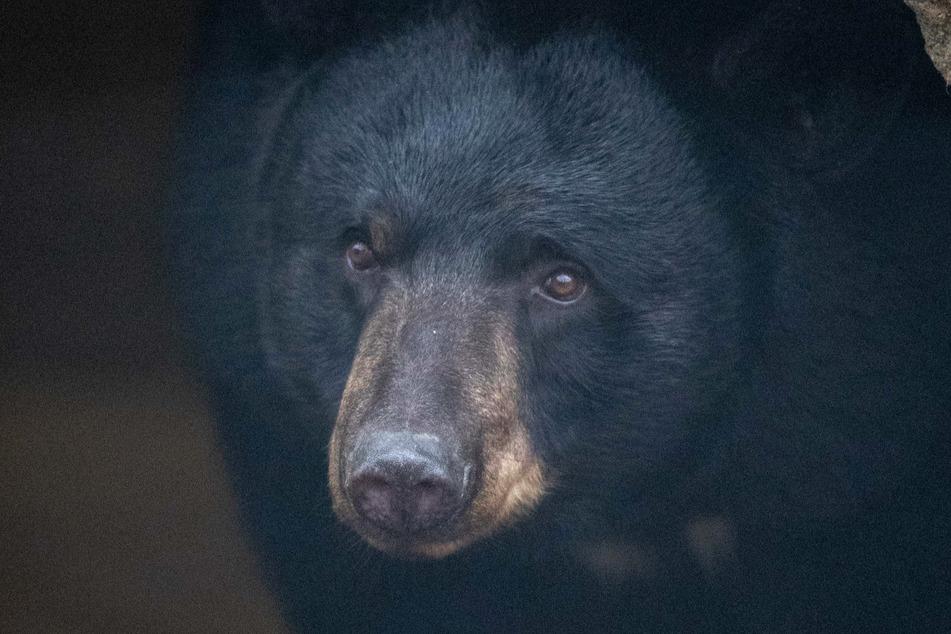 Ein weiblicher Schwarzbär. (Symbolbild)
