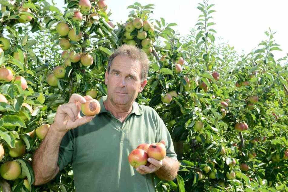Lars Folde (54), Chef vom Gut Pesterwitz, zeigt: Auch Äpfel können einen  Sonnenbrand bekommen.